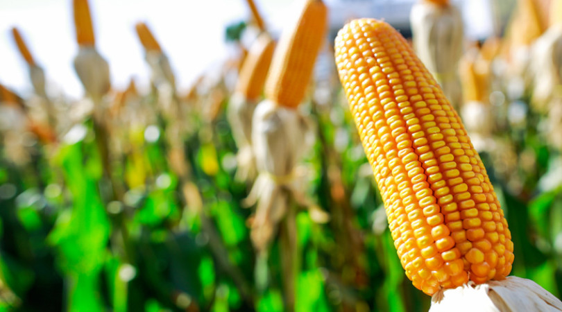 previsões de chuva milho
