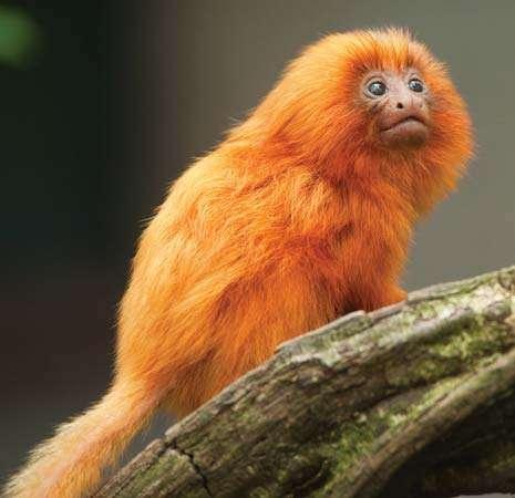 mico leão dourado, um dos símbolos da biodiversidade brasileira