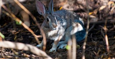 vírus coelhos