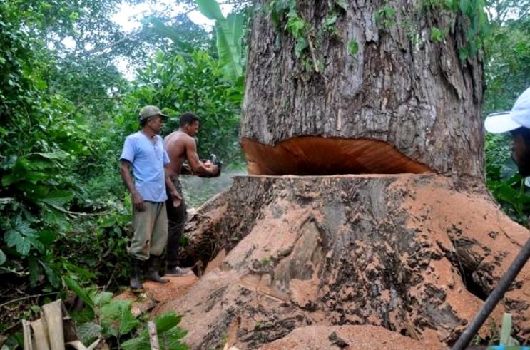 árvores centenárias