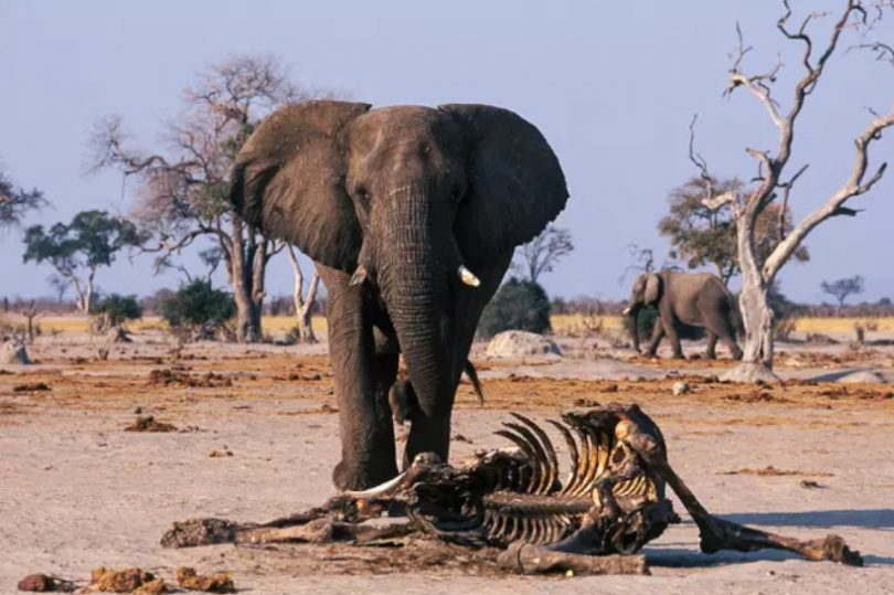 350 elefantes
