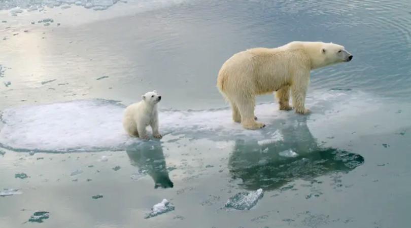 ursos polares extinção