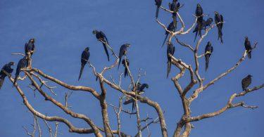 Pantanal araras-azuis