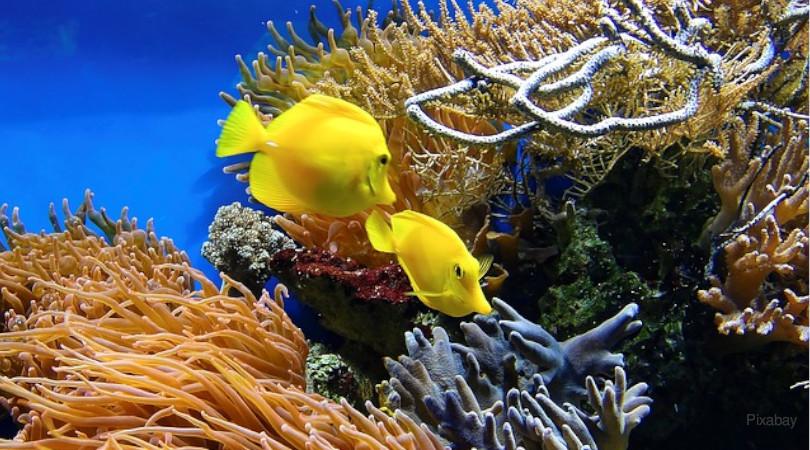 recife de corais algas