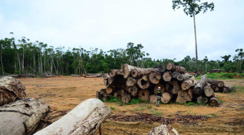 Ipê madeira ilegal