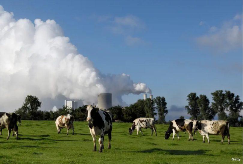 Vacas novo carvão