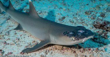 tubarão-de-ponta-branca-de-recife