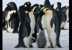 pinguins-imperadores